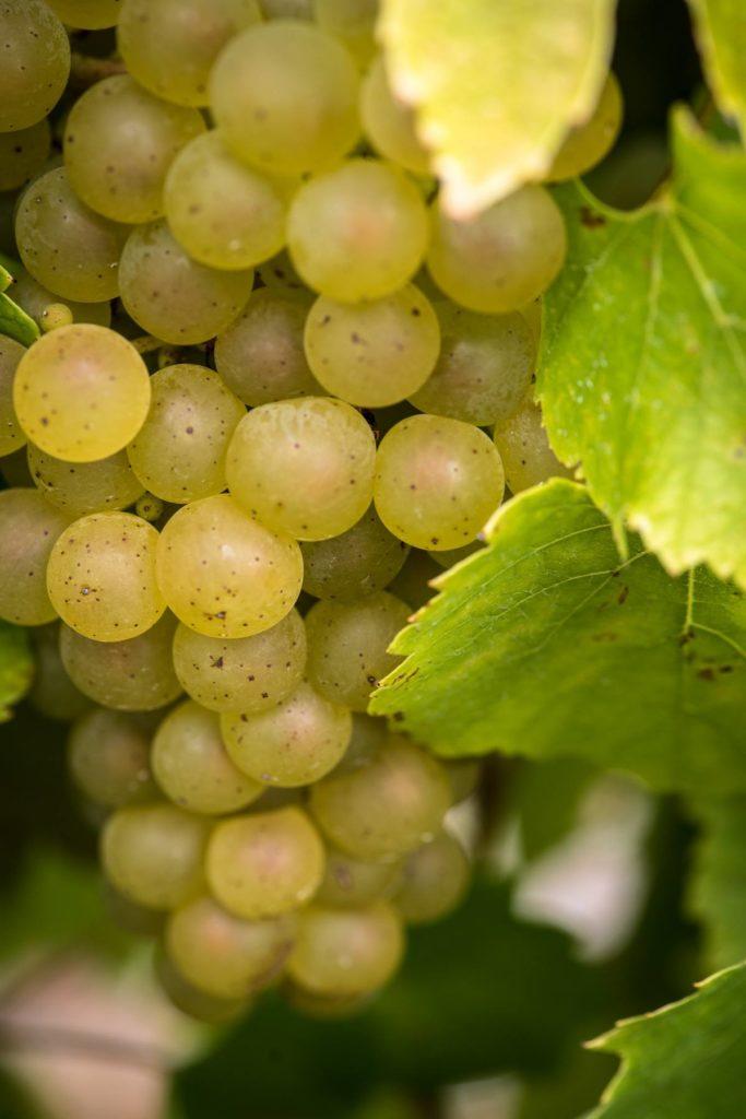 Photo d'une grappe de Melon B pour l'article sur le cépage du Muscadet
